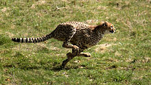 Een sprintende cheetah