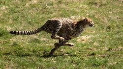 Due fasi della corsa di un ghepardo.