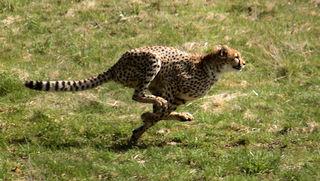 Limitations of animal running speed Factors determining maximum running speed in animals