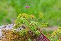 Geranium robertianum in Aveyron 04.jpg