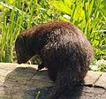 Gfp-dwarf-mongoose.jpg