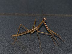 Giant Grass Mantis (Danuria thunbergi) male (11481343334).jpg