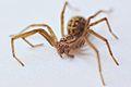Giant house spider (Tegenaria duellica).jpg