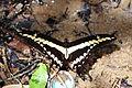 Giant swallowtail (Papilio thoas) (8097836546).jpg