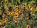 Giardino botanico alpino Viote - Gaillardia aristata4.jpg