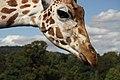 Giraffe (6164674822).jpg