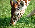 Giraffe Blijdorp.jpg