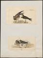 Glareola orientalis - 1700-1880 - Print - Iconographia Zoologica - Special Collections University of Amsterdam - UBA01 IZ17200281.tif