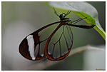 Glasswinged butterfly (6289617206).jpg