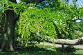 Gleditsia triacanthos foliage.jpg