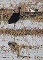 Glossy ibis in the wetlands.jpg