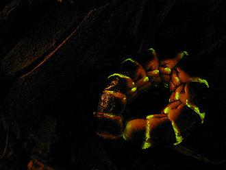 Glowworm - Image: Glowworm (4213020277)