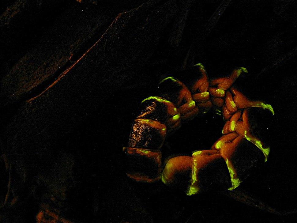 Glowworm (4213020277)