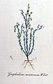 Gnaphalium montanum — Flora Batava — Volume v11.jpg