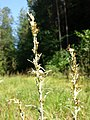 Gnaphalium sylvaticum sl9.jpg