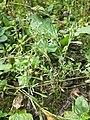 Gnaphalium uliginosum sl16.jpg