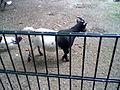 Goat black-white.jpg