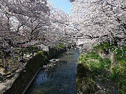 Gojō-gawa river and cherry blossoms