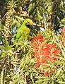 Gold-fronted Leafbird Chloropsis aurifrons by Dr. Raju Kasambe DSCN5471 (22).jpg