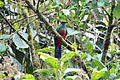 Golden-headed Quetzal (5198412698).jpg