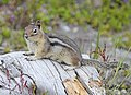 Golden-mantled Ground Squirrel, Mt. Saint Helens 02.jpg