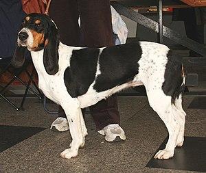 Schweizerischer Niederlaufhund - Berner Niederlaufhund