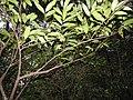Goniothalamus wightii-1-chemunji-kerala-India.jpg