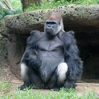 Western gorilla - Male at Melbourne Zoo