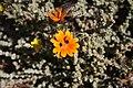 Gorteria diffusa MS 9422.jpg