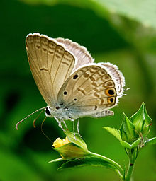 Gram Blue Euchrysops cnejus by kadavoor.jpg