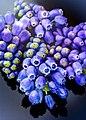 Grape Hyacinths (33908196711).jpg