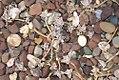 Graptopetalum paraguayense 1zz.jpg