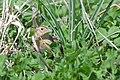 Grasshopper Sparrow (3514062454).jpg