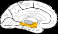 Gray727 parahippocampal gyrus.png