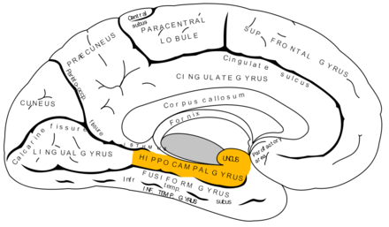 same as above but parahippocampal gyrus now in orange
