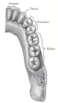 Τα δόντια:1. Τομείς2. Κυνόδοντες3. Προγόμφιοι (1ος και 2ος)4. Γομφίοι (1ος, 2ος, φρονιμίτης)