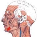 Gray — musculus depressor anguli oris.png