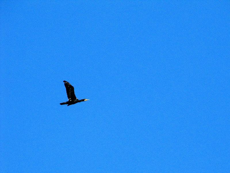 File:Great Cormorant over Juodkrantės.jpg