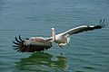 Great White Pelican AdF.jpg
