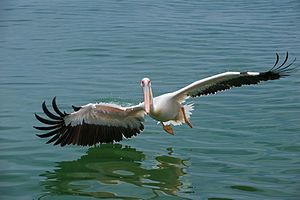 Great white pelican - Great white pelican skimming the sea surface, in Namibia