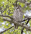 Great horned owl in cottonwood tree in Mammoth Hot Springs (27407098996).jpg