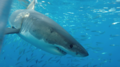Great white shark at Isla Guadalupe, Mexico, November 2017. Animal estimated at 16-18 feet in length, age unknown.png