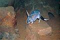 Greater Bilby (Macrotis lagotis) (9996456685).jpg