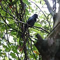Greater racket-tailed drongo (31071107467).jpg