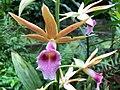 Greater swamporchid (Phaius tankervilleae).jpg