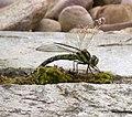Green Dragonfly 1 (3862140821).jpg
