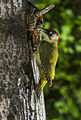 Green Woodpecker - Aosta Valley - Italy Image1 (16224566477).jpg