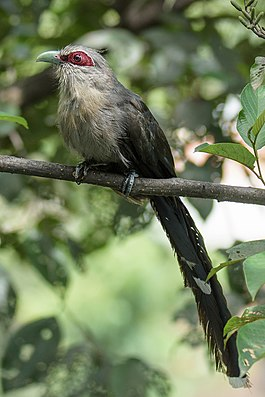 Green billed Malkoha (Nepal).jpg