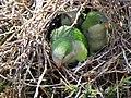 Green parrots at Parque por la Paz Villa Grimaldi - Santiago Chile - Peace Park (5277459775).jpg