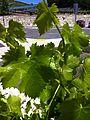 Grenache leaf.jpg